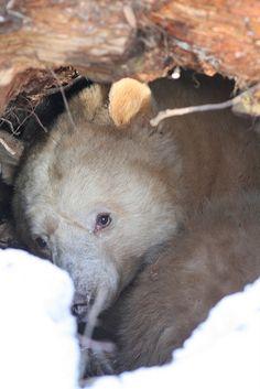 This Spirit Bear cub was hibernating nearby the...