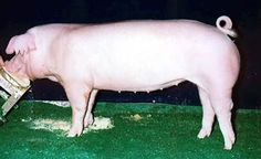 We raised these on the family farm. Cattle Farming, Pig Farming, Livestock, Chester White, White Pig, Pig Breeds, Chicken And Cow, Cute Piggies, Flying Pig