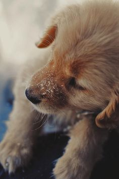lovely little golden retriever puppy. Cute Puppies, Cute Dogs, Dogs And Puppies, Doggies, Baby Dogs, Baby Animals, Cute Animals, Snow Dogs, Tier Fotos