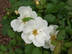 White Knock Out Rose 4 Pot Newest Knock Out Rose in White Roses, White Flowers, Knockout Roses, Strawberry Planters, Rose Varieties, Bloom Where You Are Planted, Spring Plants, Growing Roses, Beautiful Flowers Garden