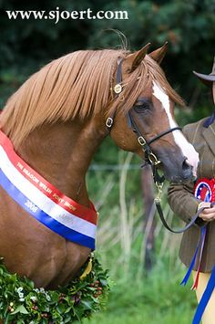Welsh ponies, Magic Minis Shetland ponies, stud farm in France
