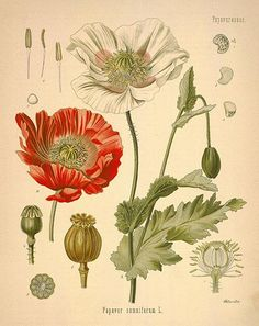 Opium Poppy Botanical Drawing by Potted Lily, via Flickr
