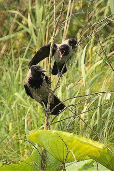 cornacchie-img_3934.jpg - CORNACCHIA GRIGIA - Hooded Crow - Corvus corone cornix - Luogo: Parco fluviale del Mincio - Mantova - Autore: Alvaro