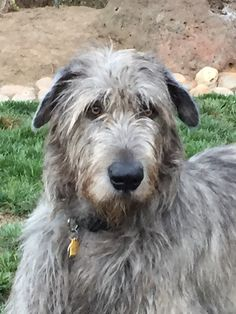 Jack, 23 mo old, Kerryarc Irish Wolfhound