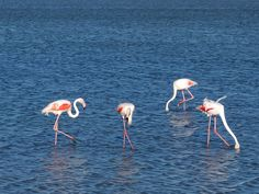 Flamants roses de Camargue by Axel