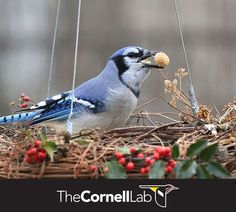 Blue Jays can carry seeds in their throat pouch, but to transport a peanut or acorn, they must carry it in their bill. Feeding Birds In Winter, Sunflower Seeds, Blue Jay, Bird Watching, Acorn, Beautiful Creatures, Bird Feeders, Evergreen, Butterflies