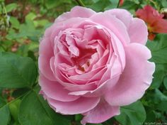 """'Paul's Early Blush', (also called """"Mrs. Harkness"""") - Hybrid perpetual rose,   Light pink in color with a strong, cinnamon fragrance, 1893"""