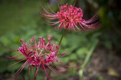 Spider Lily at Tallawalla Retreat, North Dorrigo Spider, Coast, Lily, Plants, Spiders, Orchids, Plant, Lilies, Planets