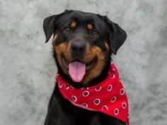 Jayna is an adoptable Rottweiler Dog in Olivette, MO.   To adopt Jayna please fill out an adoption application at the Saint Louis County Animal Care & Control, located at 10521 Baur Blvd. Olivette MO ...