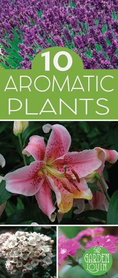Nothing is worse than planting a beautiful plant only to realize it smells like your old Aunt Martha's sour perfume. When planning your garden, particularly plants that are along a walkway or near the porch, consider these 10 deliciously smelling plants that are both beautiful and welcoming.  Lilium 'Star Gazer'
