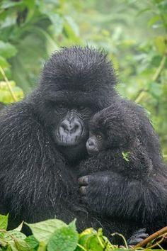 Photographic Print: Portrait of Mountain Gorilla, Gorilla Beringei Beringei, with its Young by Tom Murphy : Baby Gorillas, Orangutans, Tom Murphy, Dian Fossey, Ape Monkey, Mountain Gorilla, Baboon, Mundo Animal, Cutest Animals