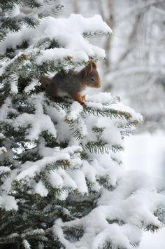 Eichhörnchen in der Tanne