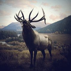 """""""Wapiti"""" by Chad Wys, artist Source by ugallery Beautiful Creatures, Animals Beautiful, Cute Animals, Majestic Animals, Bull Elk, Deer Family, Elk Hunting, Hunting Stuff, Hunting Gifts"""