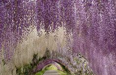 Pastel-colored passageway of wisteria flowers at the Kawachi Fuji Gardens in Kitakyushu, Japan