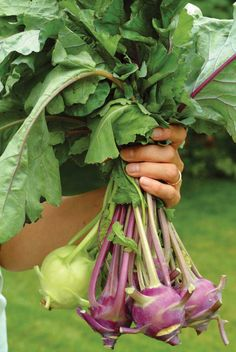 I grew up eating this and it's still a favorite, now if I could just get it to grow well for me, this is the year... Growing Kohlrabi: The Forgotten Vegetable - GRIT Magazine #gardening #edible #veggies #unusual