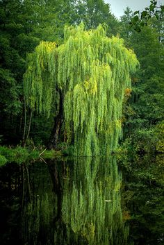 Nature Weeping willow tree background concepts 6 Steps to Tremendous Smooth Trendy Hair Wh Weeping Willow, Willow Tree, Sauce Arbol, Nature Pictures, Beautiful Pictures, Unique Trees, Tree Photography, Photo Tree, Plantation
