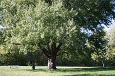 Types Of Trees 101 [All You Need To Know] Silver Maple Tree, Red Maple Tree, Lilac Plant, Eastern Redbud, Syringa Vulgaris, Climbing Hydrangea, Honey Locust, Wood Supply, Plant Guide