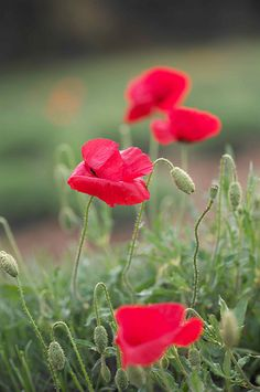 Poppies ~ can't wait for mine to bloom!