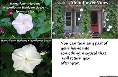 Moonflower Heirloom Seeds, Order now, FREE shipping, FREE gift - Classified Ad