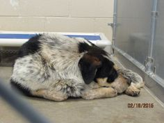 >>>>>>CODE RED! OUT BY 2-24<<<<<< Cage 42 - BIGBY Impound #603 Heeler Male; 2 Years White/Black/Brown Intake 2-17-15 | Out By 2-24-15 Roswell Animal Control 705 E. McGaffey Roswell, NM 88201 575-624-6722 https://www.facebook.com/RoswellUrgentAnimalsAtAnimalControl/photos/pb.176246809209991.-2207520000.1424725030./411928345641835/?type=3&theater