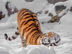 Fantastic Images Bengal Cats snow Style let's discuss what is really a Bengal cat. Bengal cats and kittens really are a pedigree kind that will t. Nature Animals, Animals And Pets, Baby Animals, Funny Animals, Cute Animals, Wild Animals, I Love Cats, Big Cats, Cats And Kittens