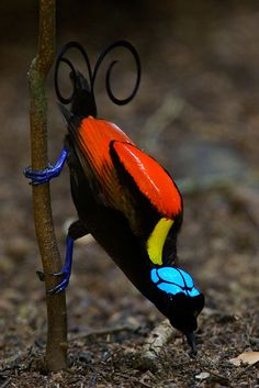 There are more than three dozen species in the family Paradisaeidae, more commonly known as the birds of paradise