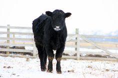 Traci Thorson Photography....sweet black cow
