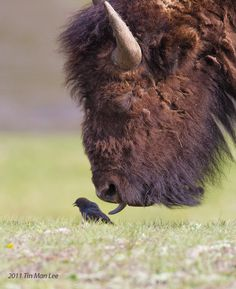 Birdie and the beast, Yellowstone National Park