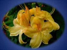 Beautiful Blooms 175 (Always)