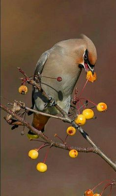 Pestvogel - Bohemian Waxwing (Bombycilla garrulus) in Europe, Asia and North America by Daniel Cadieux.