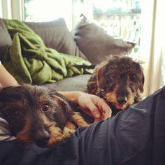 #dachshund #teckel ruwhaar