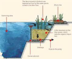 natural swimming pool cross section plan view regeneration plant root zone design
