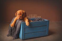 #Puppy #Dogue #de #Bordeaux