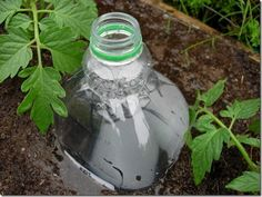 plant pop bottles with holes next to tomatoes