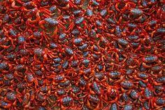 Caranguejos vermelhos na Ilha Christmas, Oceano Índico, Austrália - Ingo Arndt