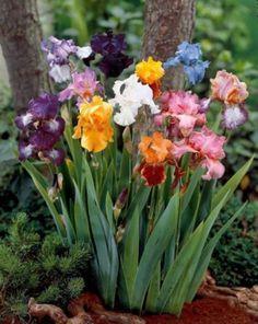 Colorful Irises                                                                                                                                                      More
