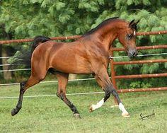 AABSOLUT (*Princip x Amarilla PR) 1996 bay stallion bred by Morning Glory Farms