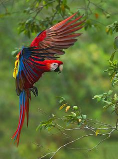 SCARLET MACAW - Ara macao.  .  Also Aracanga.  .  .SE Mexico to Amazonian Peru, Bolivia, Venezuela, Brazil.  .  . Photo: Bonnie Block via 500px