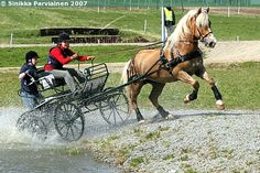 Finnhorse gelding Rokki-Poju participating in combined driving competition