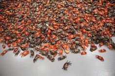 He Xie, 2010 (3,200 trompe-l'oeil painted porcelain crabs).