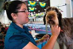 Celestina Lynch grooms her German wirehaired pointer, Arielle, prior to her showing at the 4-H Dog Show during last year's Pueblo County Fair. (Chieftain file photo)