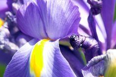 purple iris #flower
