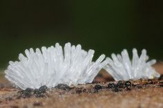 Slime mold: (Ceratiomyxa fruticulosa) Whitish and translucent organism with tiny, erect, branched or simple structures. It resembles a coral or small icicles. They are with a fuzzy appearance because they produce their spores on their outside surfaces. While not fungi, slime molds often form spore-bearing structures that resemble those of the true fungi. Spotted on dead pine wood. Evergreen oak and pine tree forest.
