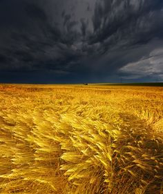 Gray clouds and gold waves of grain.