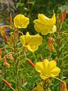 The evening primrose - beautiful, delicious and healthy!- The evening primrose is not mean but just beautiful. How to use the flowers, seeds and roots in the kitchen, you will find out here! Source by - Diy Herb Garden, Garden Signs, Edible Garden, Vegetable Garden, Garden Care, Love Garden, Marigolds In Garden, Garden Plants, Planting Flowers