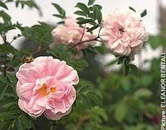 Stanwell Perpetual rose  Very hardy-- long bloomer!