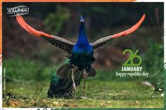 #republicday #india #peacock #nationalbird #flying #instadaily #instagood #colourfulbird #incredibleindia #wildlifephotography #wildlife #photography #instapic #delhi  For more info visit #wildnest.in
