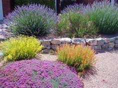 Lavender,Red and Yellow Pineleaf Penstemon and Greek Germander