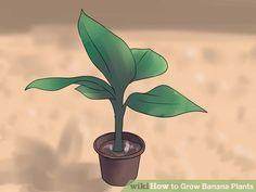 Image titled Grow Banana Plants Step 5