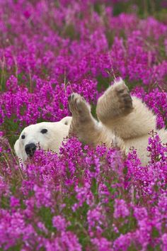 Summer Days | Polar Bear frolicking in a field of fireweed in Northern Canada's Hudson Bay | photo by Dennis Fast